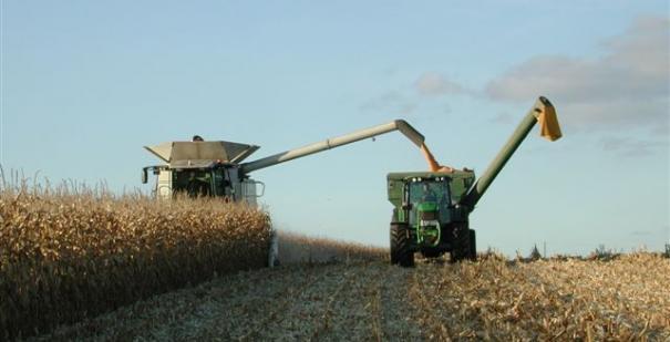 Grain Maize